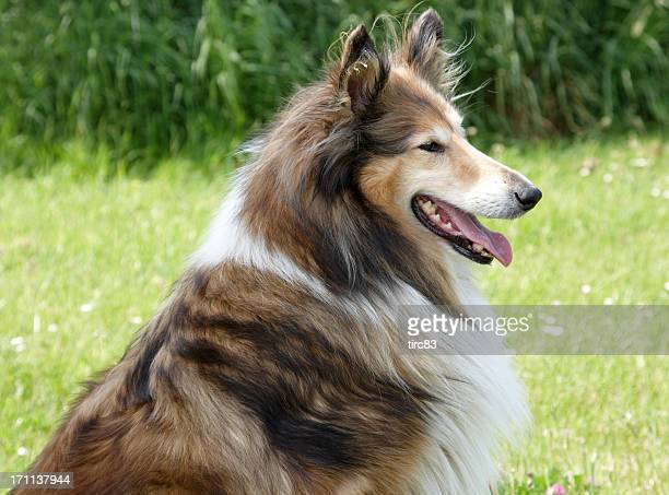 Purebred collie dog