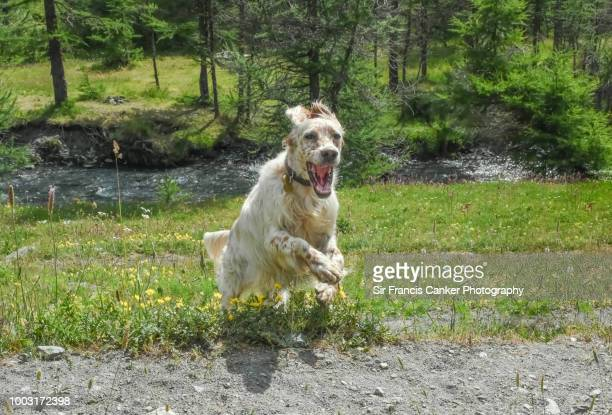 Purebred female English Setter jumping at full speed with funny face, tongue out and looking at camera