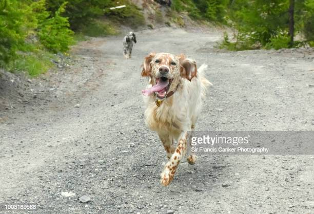 Purebred female English Setter walking with funny face and tongue out