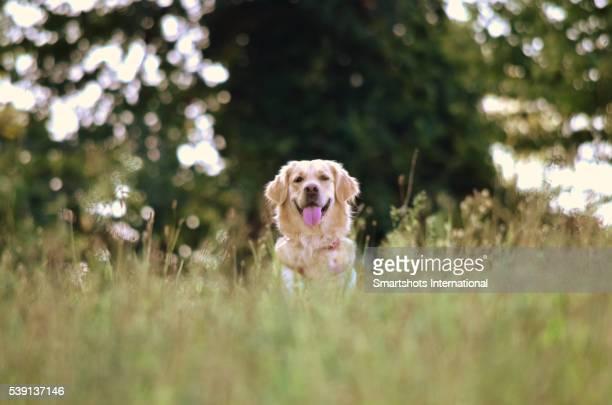 Purebred female golden retriever portrait amid high vegetation