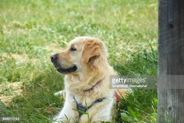 Purebred female Golden Retriever profile looking away while lying on grass