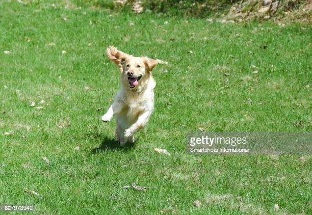 Purebred female golden retriever running towards camera while shifting direction