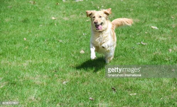 Purebred female golden retriever running towards camera while taking off