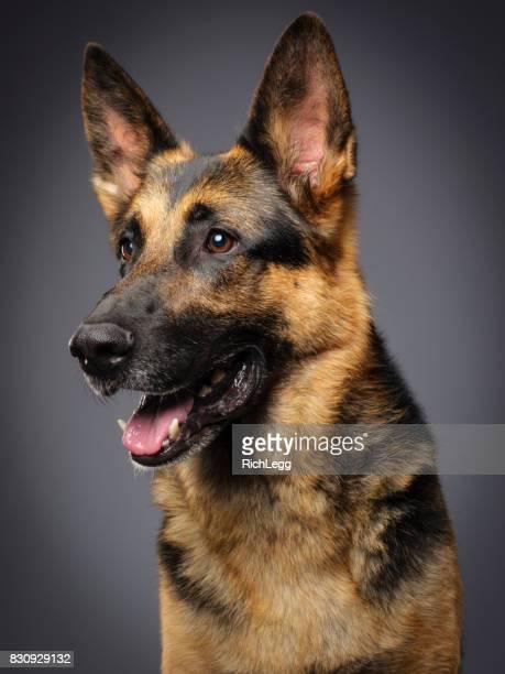 cão pastor alemão angorá - cultura alemã - fotografias e filmes do acervo