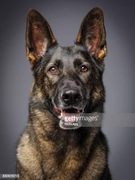 ドイツの羊飼い純血種の犬 - 訓練犬 ストックフォトと画像