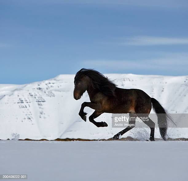Purebred Icelandic stallion running in snow, side view