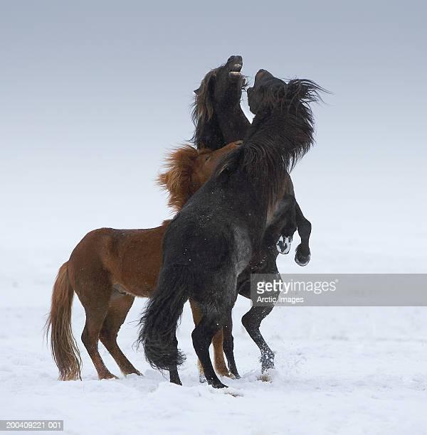 Purebred Icelandic stallions play fighting