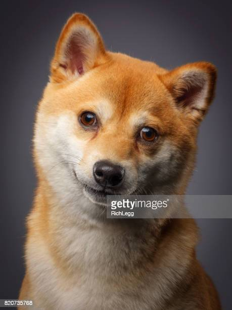 純血種の日本芝犬