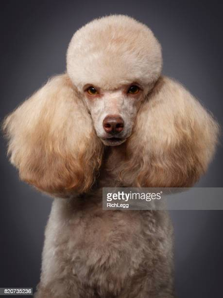 Purebred Miniature Poodle Dog