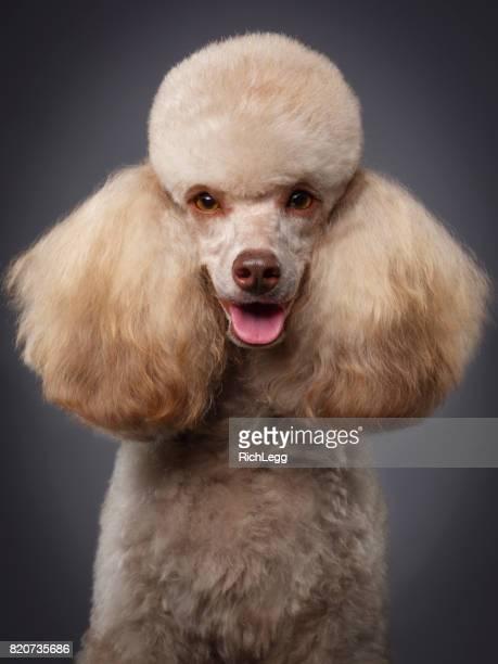 cão de raça miniatura poodle - poodle - fotografias e filmes do acervo