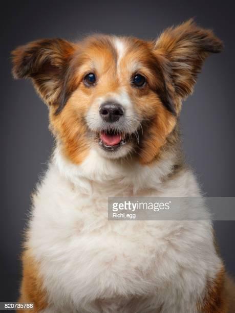 Purebred Sheltie Dog