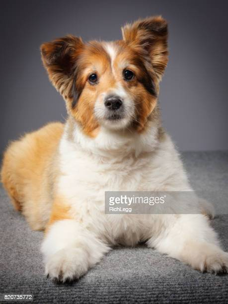 Purebred Sheltie Dog