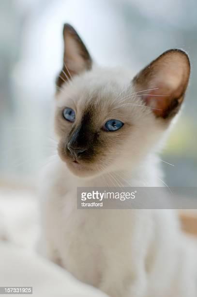 Purebred Siamese Cat (Kitten)