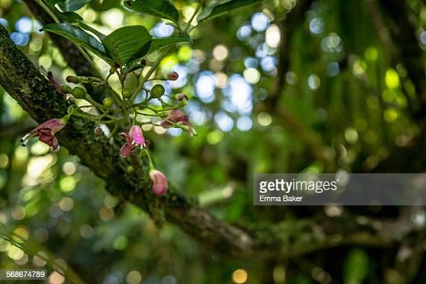 Puriri tree blossoms