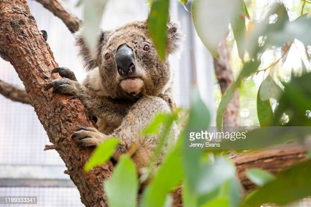 Purkunas the koala is seen during a tour of the Taronga Zoo's Wildlife Hospital at Taronga Zoo on January 14 2020 in Sydney Australia The Federal...