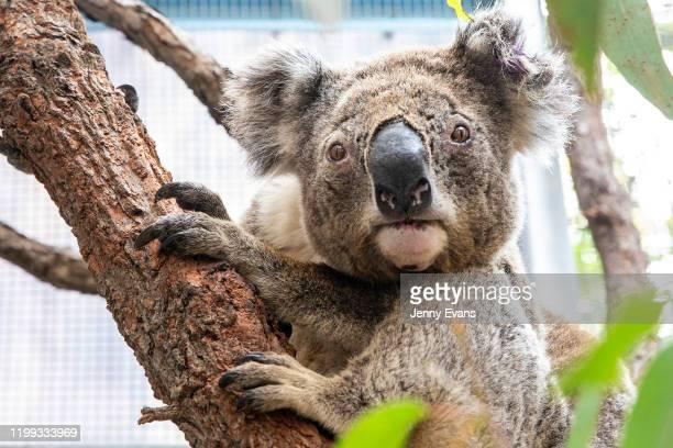 Purkunas the koala is seen during a tour of the Taronga Zoo's Wildlife Hospital at Taronga Zoo on January 14, 2020 in Sydney, Australia. The Federal...