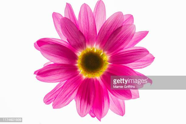 purple african daisy in macro - blumen stock-fotos und bilder