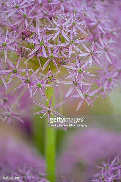 Purple Allium Flowers RHS Chelsea flower show 2014