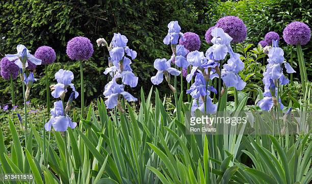 purple alliums and pale blue bearded iris - bearded iris stock photos and pictures