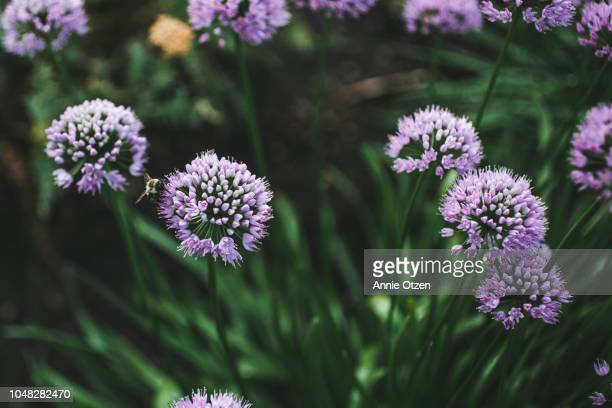 Purple Alliums Growing in Garden