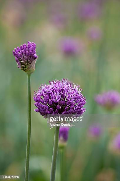 purple alliums - andrew dernie photos et images de collection
