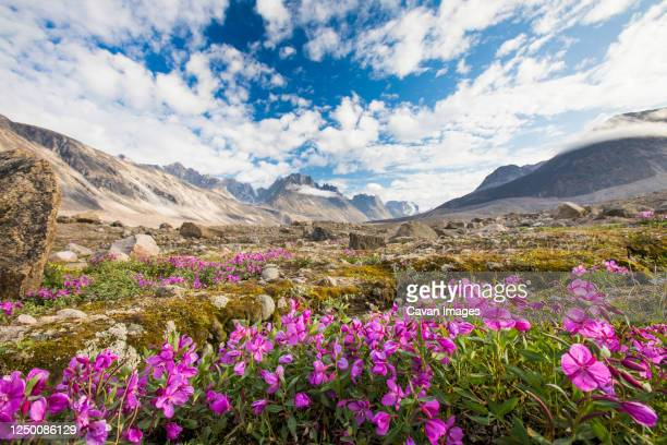 purple alpine flowers and dramatic mountain landscape, akshayak pass. - バフィン島 ストックフォトと画像