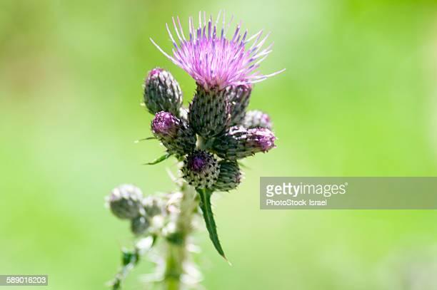 Purple Alpine Thistle
