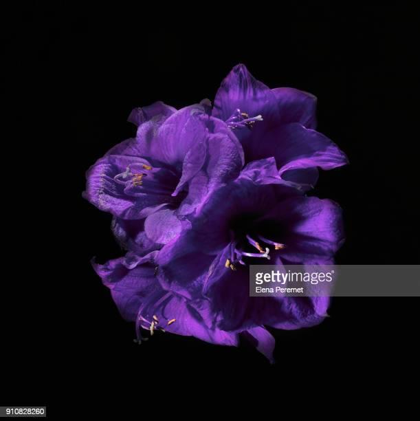 purple amaryllis on black background - elena blume stock-fotos und bilder