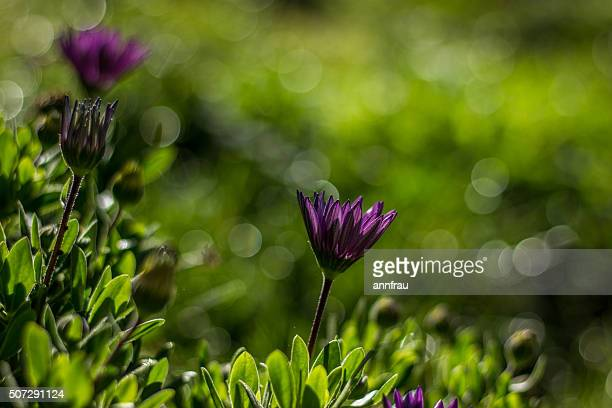purple and bokeh - annfrau stock pictures, royalty-free photos & images