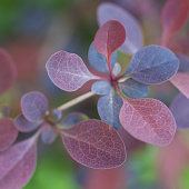 Purple and claret leaves