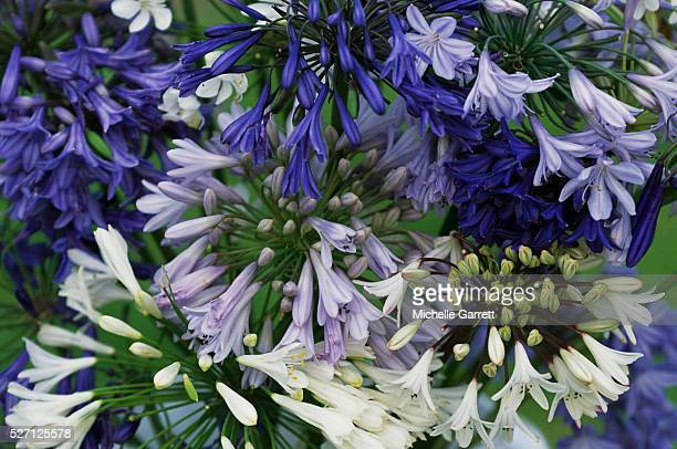 Purple and White Agapanthus Flowers