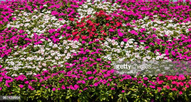 purple and white impatients - impatience flowers stock pictures, royalty-free photos & images