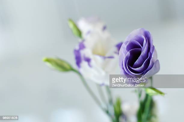 Purple and white lisianthus flower buds opening