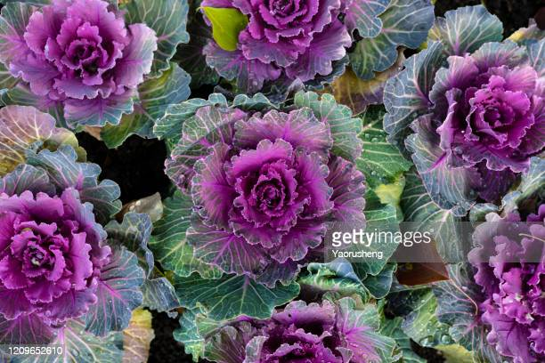 purple and white ornamental cabbage - cabbage stock pictures, royalty-free photos & images
