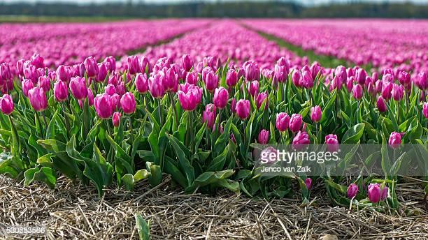 Purple and white tulip
