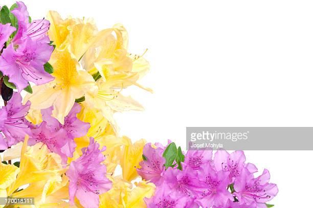 purple and yellow azalea - azalea stock pictures, royalty-free photos & images