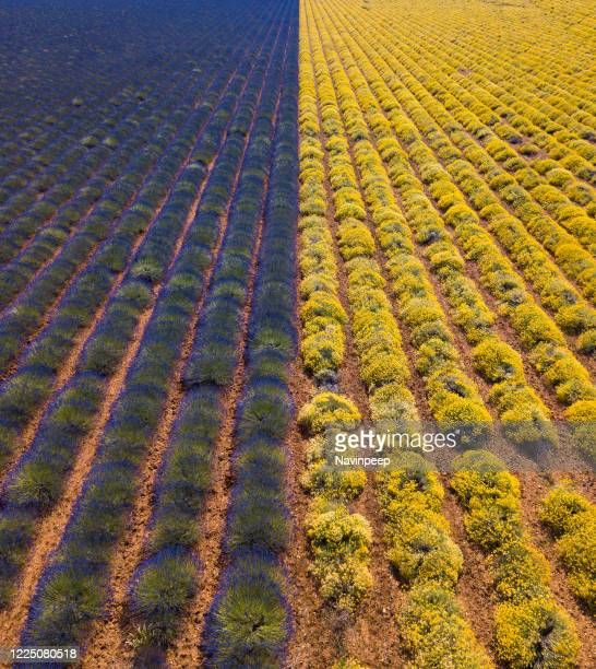 purple and yellow, lavender and sunflower fields, provence, france - アルプドオートプロバンス県 ストックフォトと画像