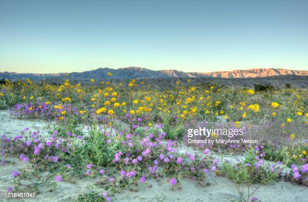 purple and yellow wildflower foreground and mountains - indio california stock pictures, royalty-free photos & images
