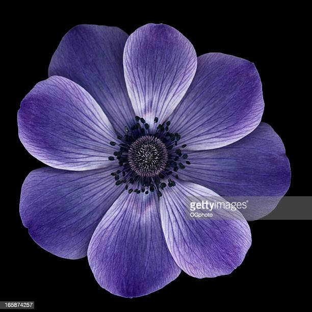 purple anemone poppy isolated on black - ogphoto stock pictures, royalty-free photos & images