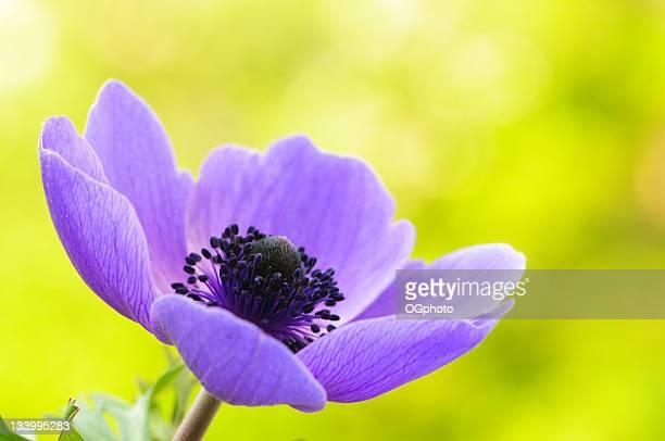 anémona púrpura amapola - ogphoto fotografías e imágenes de stock