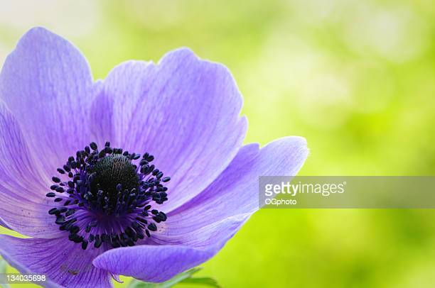 purple anemone poppy - ogphoto stockfoto's en -beelden