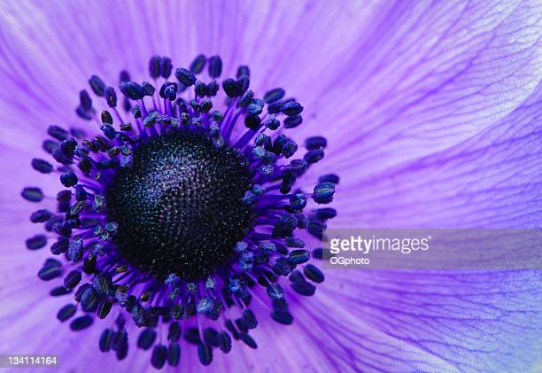 purple anemone poppy - extreme close up stock pictures, royalty-free photos & images