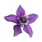 closeup purple aquilegia flower head columbine