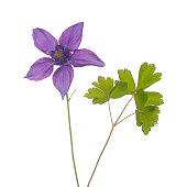 purple columbine flower aquilegia with leaf