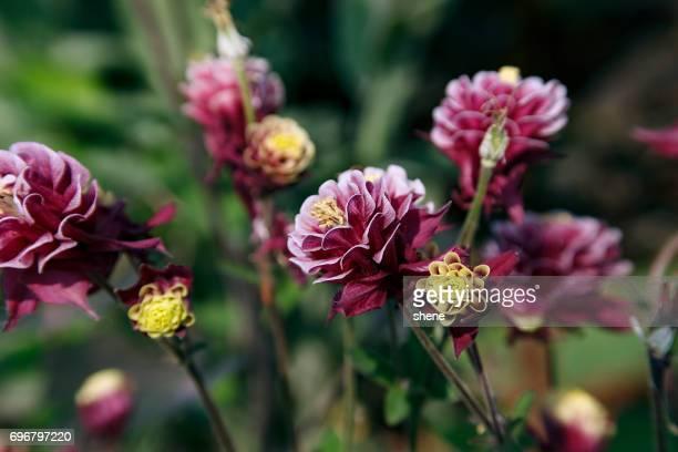 purple aquilegia - columbine flower stock pictures, royalty-free photos & images