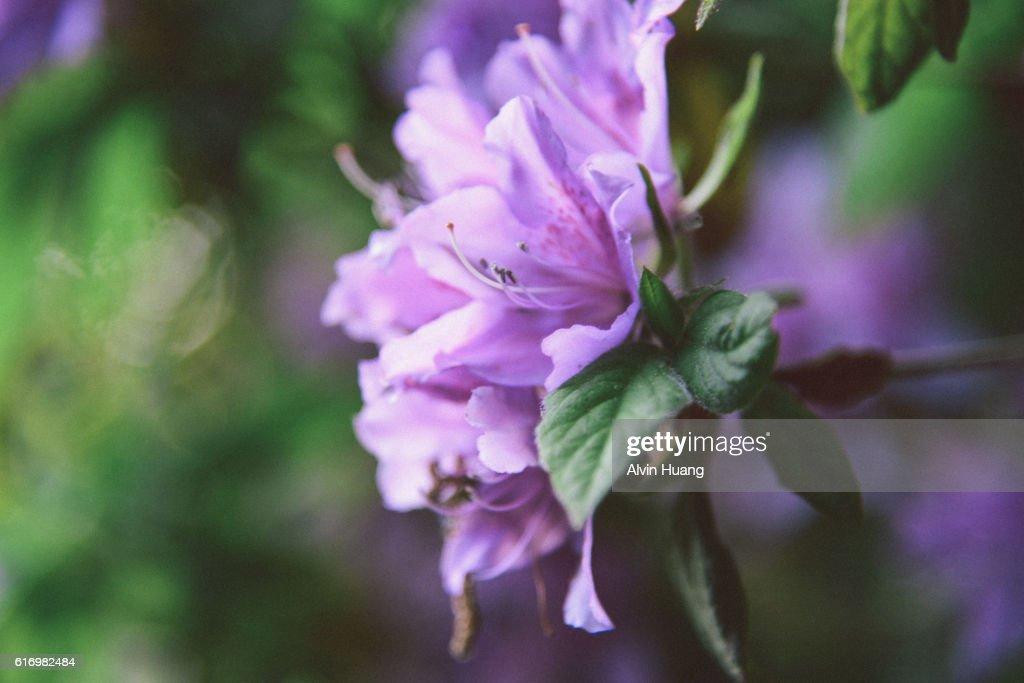 Purple Azalea Flower : Stock Photo