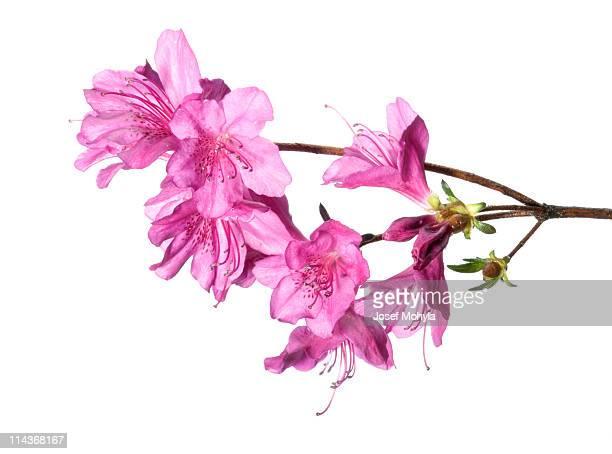 purple azalea - azalea stock pictures, royalty-free photos & images