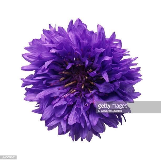 Purple Bachelor Button Close-up