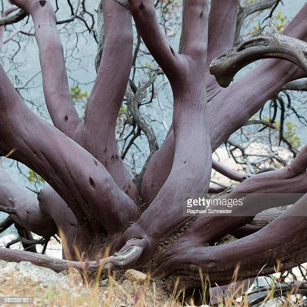Purple bark of a gnarled manzanita tree