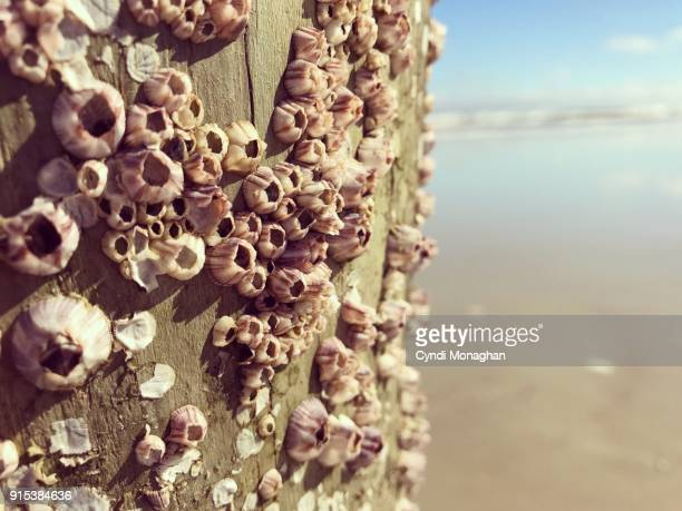 purple barnacles at the beach - barnacle stock pictures, royalty-free photos & images